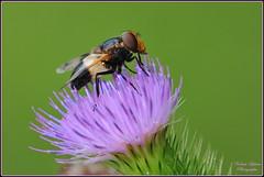Volucelle transparente ( Volucella pellucens ) (Le Papa'razzi) Tags: volucelletransparente volucellapellucens syrphe insectebutineur nikond300s nikkor300mmf4