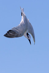 Sandwich Tern Diving (dbadair) Tags: tern outdoor seaside shore sea water nature wildlife 7dm2 7d ii ef100400mm ocean canon florida birdflight bif