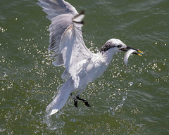 Sandwich Tern Catching good (dbadair) Tags: tern outdoor seaside shore sea water nature wildlife 7dm2 7d ii ef100400mm ocean canon florida birdflight bif