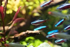 Cardinal tetras (Find The Apex) Tags: aquarium plantedaquarium fish animals aquariumfish aquariumplants aquaticplants aquascape aquascaping cardinaltetra tetra paracheirodonaxelrodi
