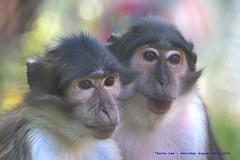 White Napped Mangabeys......... (law_keven) Tags: whitenappedmangabey animals wildlife wildlifephotography animalphotography zoo londonzoo monkey monkeys primate primates mammals london england