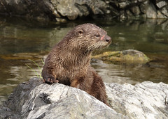 Otter (dave dooley) Tags: otter water river rogue oregon state rock rocks fur brown animal wild habitat nature