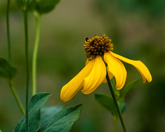 Yellow Coneflower (nikons4me) Tags: yellow coneflower wildflower iowa ia nikonafsdx18200mmf3556gifedvr nikond200 prairieconeflower