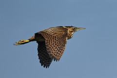 Bittern (robin elliott photography) Tags: bittern bird birds wild nature flight feathers blue sky outdoors outside nikon nikond850 nikon200500