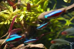 Schooling Fish (Find The Apex) Tags: aquarium plantedaquarium fish animals aquariumfish aquariumplants aquaticplants aquascape aquascaping cardinaltetra tetra paracheirodonaxelrodi