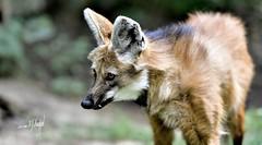 Mähnenwolf (hansjrgenknppel) Tags: mähnenwolf wolf natur wildtier nikon d 850 nikkor 200 f2 frii hansjuergen knueppel