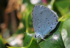 Holly Blue - Celastrina argiolus 130819 (6) (Richard Collier - Wildlife and Travel Photography) Tags: insects wildlife naturalhistory nature butterflies britishinsect macro closeup hollyblue celastrinaargiolus naturethroughthelens