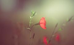 Linum grandiflorum (Dhina A) Tags: sony a7rii ilce7rm2 a7r2 a7r kaleinar mc 100mm f28 kaleinar100mmf28 5n m42 nikonf russian ussr soviet 6blades manualfocus linum grandiflorum flower bokeh summer