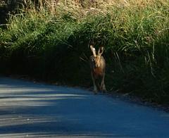 Hare I come! (rockwolf) Tags: brownhare lepuseuropaeus mammal lièvre eveninglight beautiful magical shropshire rockwolf