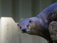 dripping wet - Otters and Butterflies - Buckfastleigh, Devon - June 2019 (Dis da fi we) Tags: dripping wet otter stare otters butterflies buckfastleigh devon r