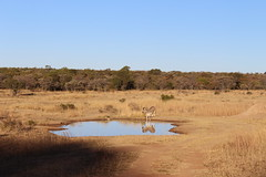 Zebra at a Watering Hole (Rckr88) Tags: waterberggameparklimpopo southafrica waterberggamepark limpopo waterberg game park south africa zebra watering hole zebraatawateringhole animals animal zebras reflection reflections nature naturalworld outdoors travel travelling