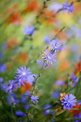 Cichorium intybus (P i n u s) Tags: pinus macro archiv flower cichoriumintybus chicory vivid wegwarte sommer summer coth coth5