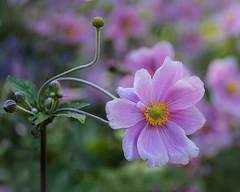 Japanese Anemones (Janet Marshall LRPS) Tags: anemones flowers pink rhswisley macro depthoffield dof