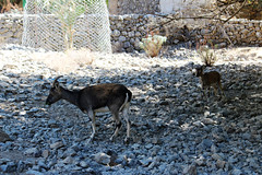 Cretan goat kri-kri / Критска коза кри-кри (mitko_denev) Tags: kreta griechenland крит гърция κρήτη crete greece hellas ελλάσ ελλάδα island samaria gorge samariagorge unesco tenativelist nationalpark φαράγγισαμαριάσ worldsbiospherereserve biospherereserve самария ждрело националенпарк юнеско резерват σαμαριά коза крикри животни animal krikri goat
