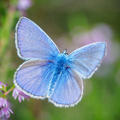 Common blue (Karsten Gieselmann) Tags: 300mmf4 em1markii falter feldweidewiese hauhechelbläuling insekten mzuiko mc20 microfourthirds natur olympus tiere butterfly commonblue kgiesel lawn m43 meadow mft nature polyommatusicarus bruckinderoberpfalz bayern deutschland