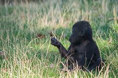 Curious. (Azariel01) Tags: 2019 antwerpen belgique belgium zoo gorilla bébé baby thandie girl fille female curieuse curious