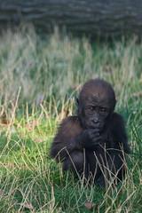 Pensive. (Azariel01) Tags: 2019 antwerpen belgique belgium zoo gorilla bébé baby thandie girl fille female thinking pensive