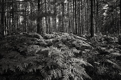 depth (the ripped bystander) Tags: forest blackwhite