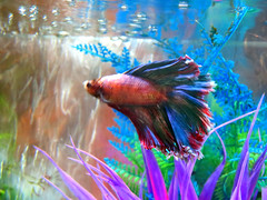 In A Water World (Vicki LW) Tags: washington betta fish aquarium crazytuesday water