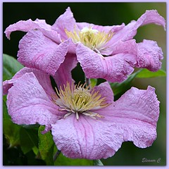 Piggy back Clematis (Eleanor (New account))) Tags: flower clematis busheyrosegarden bushey england uk nikond7100 july2019 naturethroughthelens