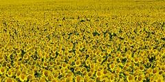 El rebelde orgulloso 🌻 (pascual 53) Tags: xabi canon 1dmarkiii 70200mm paisaje girasoles inmensidad cultivos falces navarra mosaico plantacion aceite colores
