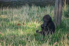 Eating. (Azariel01) Tags: 2019 antwerpen belgique belgium zoo gorilla bébé baby thandie girl fille female mange eating