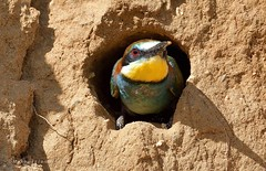 At the front of the nest (MoGoutz) Tags: bird beeeater european apiaster merops πουλί πολύχρωμο μελισσοφάγοσ