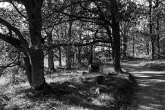 Summer in black and white (P. Burtu) Tags: sweden blackwhite sverige svartvitt sommar träd tree skog nature natur järvafältet sollentuna countryside country road väg landet landsbygd landsväg forest