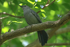 Gray Catbird - Dumetella carolinensis -  barn island wma New London County, Connecticut, USA - July 6, 2019-1-mod (mango verde) Tags: graycatbird dumetellacarolinensis mimidae mockingbirdsandthrashers dumetella carolinensis catbird bird barnislandwma newlondoncounty connecticut usa mangoverde