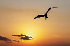 Frigatebird - Livingston - Guatemala (wietsej) Tags: frigatebird livingston guatemala sony rx10 rx10m4 rx10iv bird flight flying bif