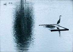 Heron (Edinburgh Photography) Tags: park white black bird heron nature water monochrome outdoors pond nikon edinburgh wildlife inverleith d7000 avril