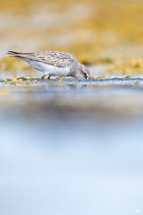 "''Marteau piqueur!"" Bécasseau croupion blanc-White-rumped sandpiper (pascaleforest) Tags: île canada quebec faune wildlife wild nature nikon passion animal bird oiseau"