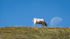 Go to the Moon (Jean-Luc Peluchon) Tags: lune moon ciel sky vache cow nature montagne mountain fz1000 pov rural humour humor field champ champêtre pastoral