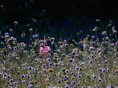 Odd one out! (rockwolf) Tags: devilsbitscabious flora wildflowers succisapratensis rosebaywillowherb chamaenerionangustifolium fleurs succisedesprés oddoneout llynclyscommon shropshire rockwolf