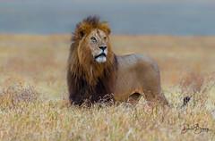 The King (Doreen Bequary) Tags: africa tanzania lion ngorongoro serengeti mane ngorongorocrater malelion d500 nikon200500