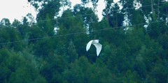 White Egret flying by the river bank (cami.carvalho) Tags: white egret flying riverbank garça garçabranca voo rio margem whiteegret nature natureza