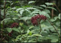Sambucus nigra, Elder, Elderberry, Black elder, European elder, European elderberry, European black elderberry, Crna bazga, 7245 Bot, 17.VIII.2018., Mrzla vodica (Morton1905) Tags: sambucusnigra elder elderberry blackelder europeanelder europeanelderberry europeanblackelderberry crnabazga 7245bot 17viii2018 mrzlavodica