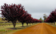 outback splash of red__ (Ardan_Dojan) Tags: purple trees autumn winery yellow dirt road grape vines sky cloud domesticated wild nature naturelover landscape grass green travel holiday landscapephotography westernaustralia red