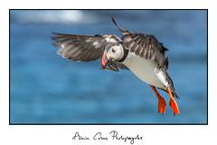 macareuxmoine (tug44) Tags: oiseau mer pêche islande poisson macareuxmoine bird sea fish atlanticpuffin