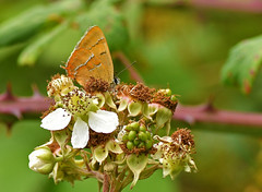 Brown Hairstreak Butterfly (Thecla betulae) (Brian Carruthers-Dublin-Eire) Tags: animalia arthropoda insecta lycaenidae thecla tbetulae theclabetulae brown hairstreak butterfly betulae animal butterflyireland creature bug insect insects nature wildlife tree trees shrub blackthorn prunus spinosa blackthornshrub prunusspinosa burren coclare ireland