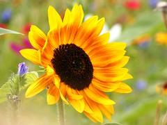 Sunflower (libra1054) Tags: flowers flores sunflowers fiori zonnebloemen tournesols girasoli sonnenblumen girasoles girasols girassóis yellow fleurs jaune amarillo amarelo gelb giallo geel bloemen groc flors