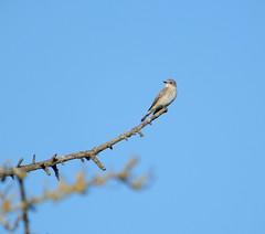 Spotted flycatcher (rockwolf) Tags: spottedflycatcher bird muscicapastriata oiseau gobemouchegris shropshire rockwolf