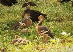 Plumed Whistling Duck. Dendrocygna eytoni (gailhampshire) Tags: plumed whistling duck dendrocygna eytoni taxonomy:binomial=dendrocygnaeytoni