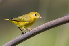 Yellow Warbler (X91_1077-1) (Eric SF) Tags: yellowwarbler warbler ardenwoodhistoricfarm fremont ca