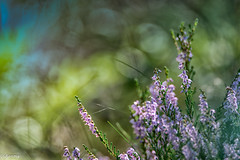 27082019-DSC_0055 (vidjanma) Tags: bokeh bruyère fleurs