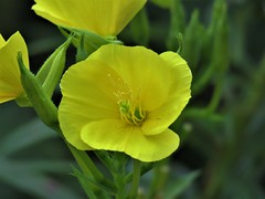 Buttercup Wildflower   IMG_5813 (PRS North Star) Tags: wildflower buttercupwildflower buttercup yellow flowers