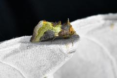 Burnished Brass ... Diachrysia chrysitis (AndyorDij) Tags: diachrysiachrysitis burnishedbrass lepidoptera insect moth andrewdejardin england empingham empinghammoths rutland uk unitedkingdom nationalmothweek eribidae