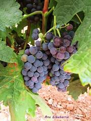 Uvas en agosto (kirru11) Tags: uvas parra campo tierra hojas quel larioja españa kirru11 anaechebarria canonpowershot