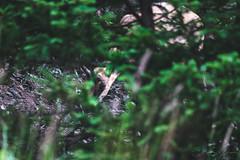◈ L'approche du chamois ◈ (Léo Dompnier Photographie) Tags: nature wildlife canon 5diii canoneos5dmarkii tamron150600g2 tamronsp150600mmf563divcusdg2 adobelightroom france savoie maurienne benro faunesauvage mammifère mammals faune sauvage libre wild foret montagne outside forêt affût billebaude alps alpes chamois rupicapra camoscio gämse gamuza caprinae bovidae