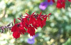 Red Flowers in Garden (Orbmiser) Tags: nikonafpdx70300mmf4563gedvr d500 nikon oregon portland garden flowers